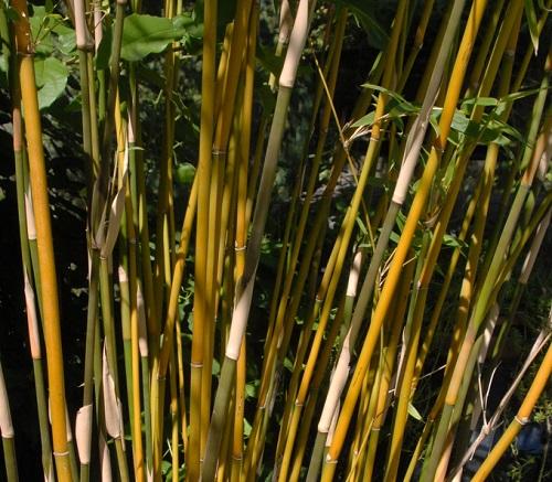 https://bambootrees.co.za/wp-content/uploads/2021/03/Bambusa-multipex.jpe