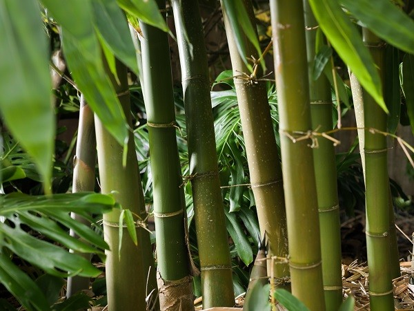https://bambootrees.co.za/wp-content/uploads/2021/03/bamboo-plants-are-fast-growing.jpg