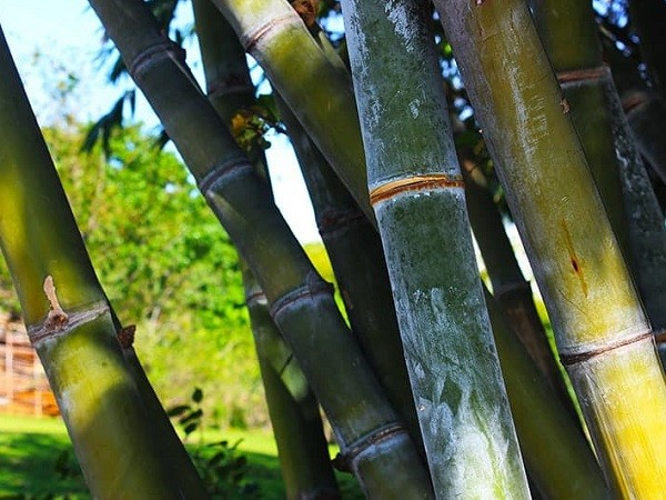 https://bambootrees.co.za/wp-content/uploads/2021/03/bamboo-trees-sustainable-resource.jpg