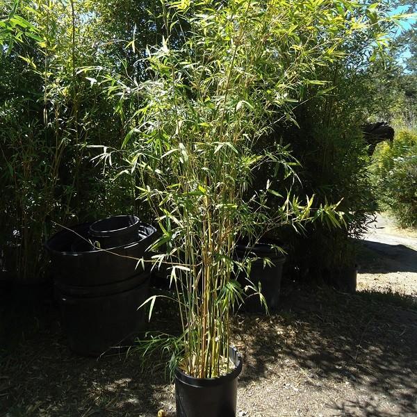 bambusa multiplex bamboo