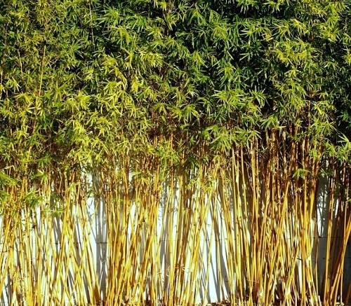 bamboo trees western cape