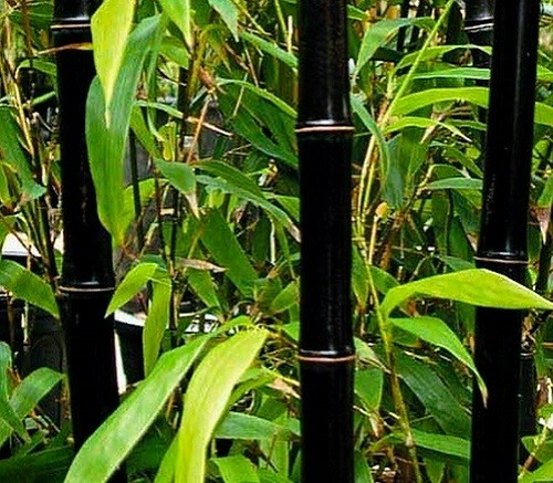 black bamboo trees west coast