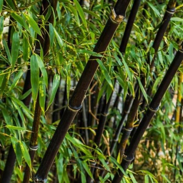 phyllostachys-nigra-black-bamboo