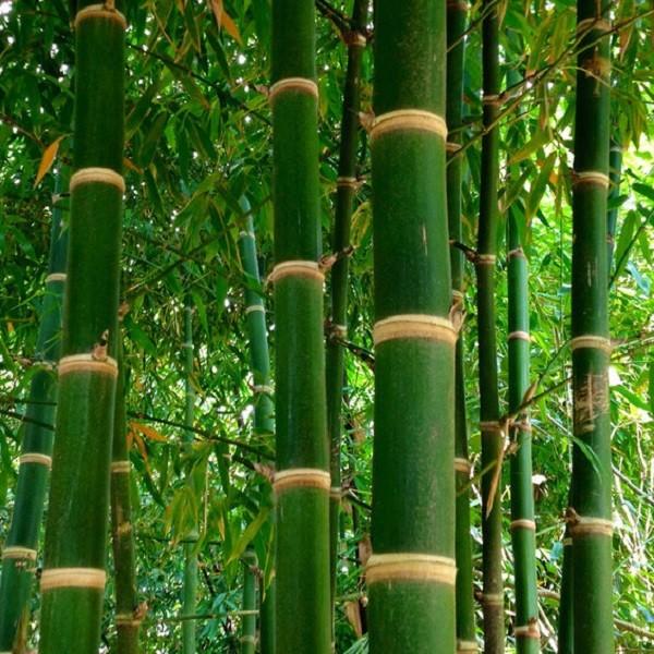 bambusa balcooa bamboo