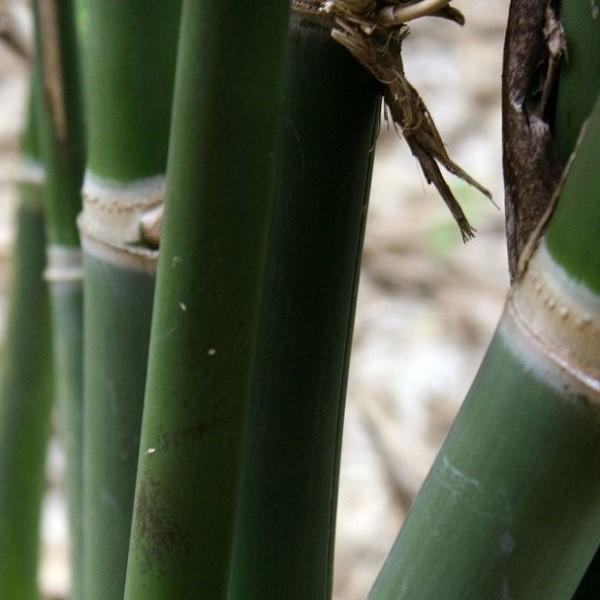bambusa balcooa south africa