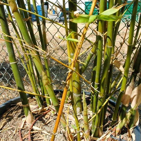 bambusa tuldoides cape town