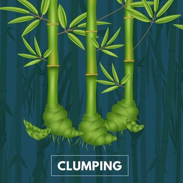 clumping bamboo cape town