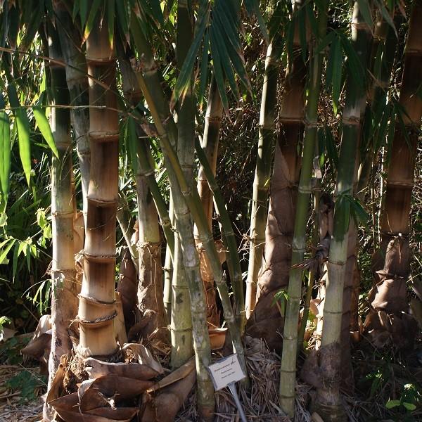 dendrocalamus asper south africa