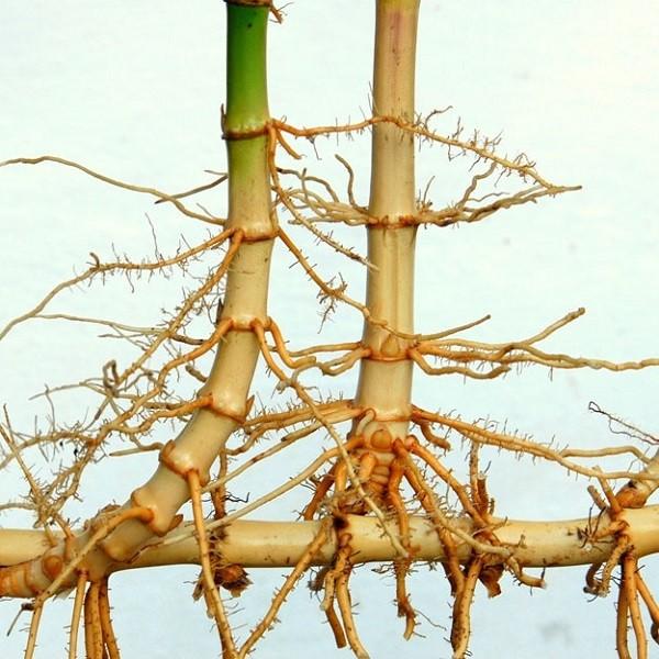 how to grow bamboo johannesburg