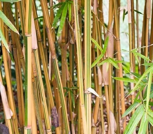 Alphonse Karr bamboo south africa