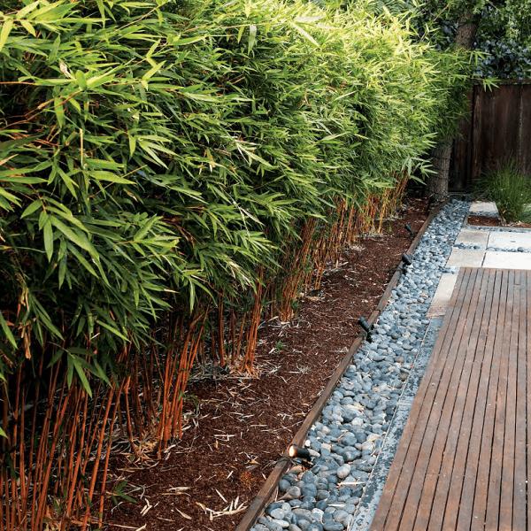 https://bambootrees.co.za/wp-content/uploads/2021/05/Alphonse-Karr-bambusa-multiplex-south-africa.png