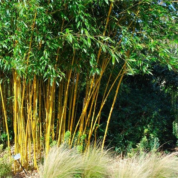 Phyllostachys aurea bamboo south africa