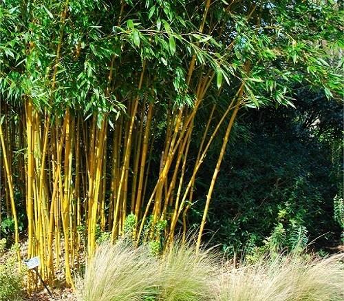 Phyllostachys aurea golden bamboo