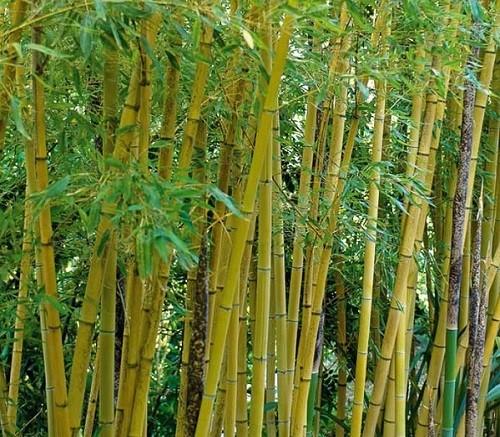 Phyllostachys aurea fishpole bamboo